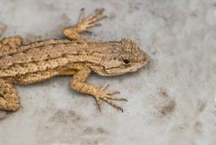 Western Fence Lizard. Commonly found in Southern California, this example of Sceloporus Occidentalis was found hiding in a back yard Stock Photo