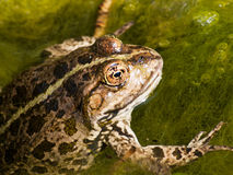Commont toad in water Stock Image