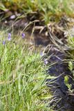 Commonwealth butterwort Stock Image