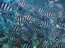 Commotion of fishes. Scissor-tail Sergeant (Abudefduf sexfasciatus Stock Photography