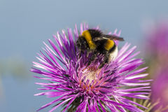 Commun Bee, polizating a Carpobrotus edulis, succulent plant, cr Stock Image