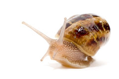Commun european snail  Stock Photo
