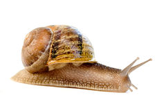 Commun european snail (Helix a royalty free stock photo