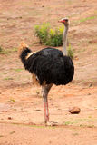 Commun Ostrich - Struthio camelus. In Brazil Royalty Free Stock Photo