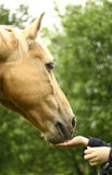 Communicating. Between horse and girl Stock Image