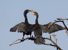 Communicating Cormorant Couple Stock Photo