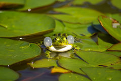Communicating water frog (Pelophylax) Royalty Free Stock Image