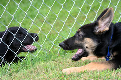Communication. Black labrador and German Shepard puppy communicating through fence Stock Images