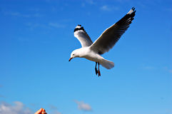 Communication. A seagull coming down to a hand that beckons Stock Image