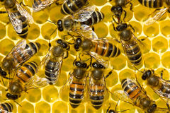 Communication bees Royalty Free Stock Images