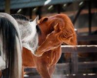 Communication de chevaux Images libres de droits
