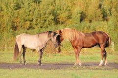 Communication de deux chevaux Photographie stock