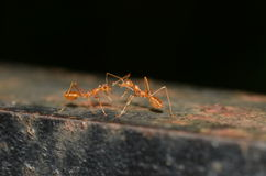 communication de 2 fourmis Photo stock