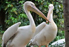 Communication between two pelicans. Two pelicans are resting and communicating , shown as animal emotion and activity like human, and environment concept Royalty Free Stock Photo