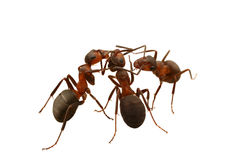 Communications of ants Royalty Free Stock Image