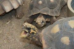 Communing för sköldpaddor Royaltyfria Bilder