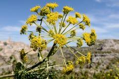 Communis Blume des Ferula Lizenzfreies Stockfoto