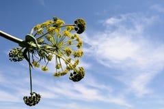 Communis Blume des Ferula Lizenzfreie Stockfotografie