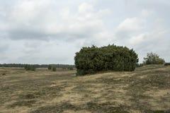 Communis Juniperus Fotografering för Bildbyråer