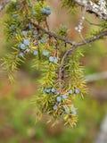 Communis Juniperus Arkivfoto