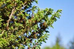 Communis Juniperus de gula manliga kottarna arkivfoton