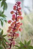 Communis röda taggiga frukter för Ricinus med vita blommor i blom Arkivfoto