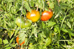 Community garden. Tomatoes in a community garden in Minnesota stock images