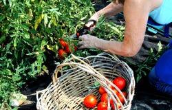 Community garden. Royalty Free Stock Photo