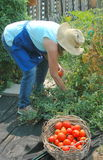 Community garden. Royalty Free Stock Photography