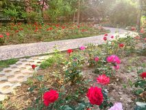 Community garden. Stone road in community garden with Chinese roses stock photography