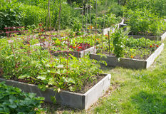Community Garden. Vegetables growing in community garden royalty free stock image