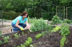 Community Gardening. A woman works on her Spring harvest in her plot in a community garden Stock Photos