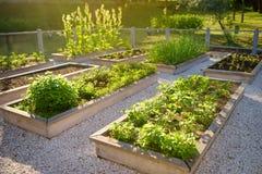 Community kitchen garden. Raised garden beds with plants in vegetable community garden