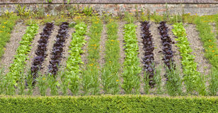 Community vegetable allotment with rows of lettuce and marigold flowers. Elevated summer vegetable garden with vertical rows of green and red lettuce, orange Stock Images