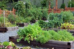 Community vegetable garden. With carrots, kale and tomatoes ready to be harvested royalty free stock photos