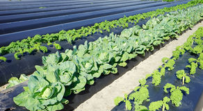 Community vegetable garden Stock Photo