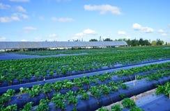 Community vegetable garden Stock Image