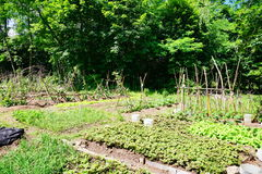 Community vegetable garden. Panorama of Community vegetable garden at Yale University, taken in New Haven, CT, USA royalty free stock photo