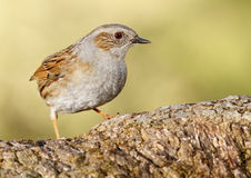 Comn Accentor Stock Images