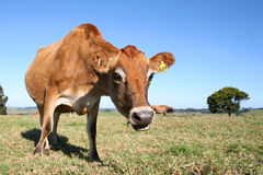 Como agora vaca de Brown? foto de stock