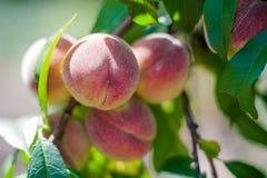 Como crescer pêssegos em uma árvore no jardim Pêssegos suculentos maduros no jardim, jardinando Imagem de Stock