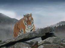 Como faça os tigres olham como imagem de stock