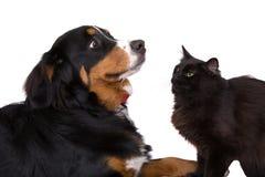 Como gatos y perros Imagen de archivo libre de regalías