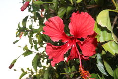 Como-La Flor lizenzfreies stockfoto