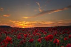Como o sol vai abaixo do campo inglês da papoila Fotos de Stock