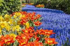 Como río azul esta cama de flor de los flujos del Muscari entre los árboles, los tulipanes rojos y los narcisos amarillos imagen de archivo