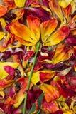 Como una flor pétalos dispuestos de tulipanes Imagen de archivo