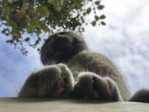 Como ver grandes gatos peludos das patas, inseto Fotos de Stock Royalty Free