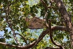Comodo beehive. Komodo island dragon flores rinca Stock Image