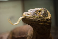 Comodo dragon Royalty Free Stock Photo